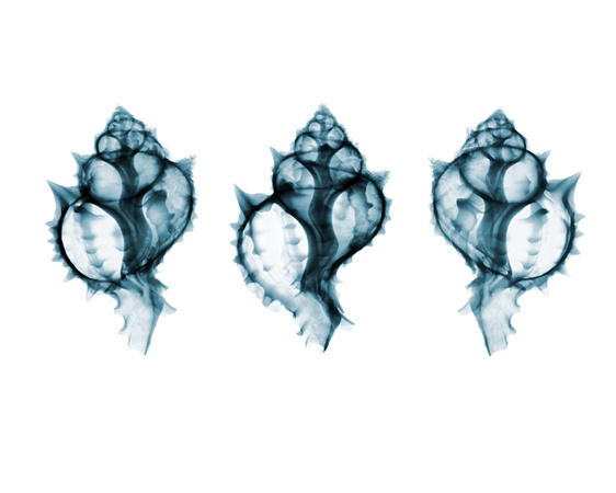 X-ray of Seashells 03